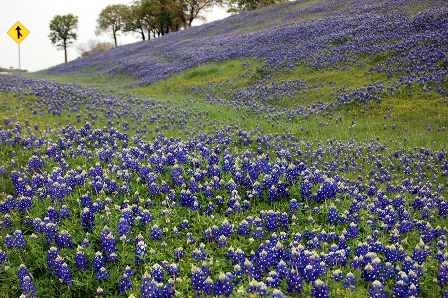 Texas Bluebonnets US Hwy 287 Bowie
